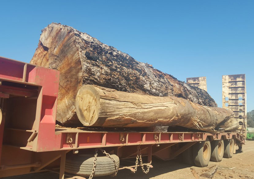 Huge Red Gum log we have saved for slabbing. It is truly an awesome log.